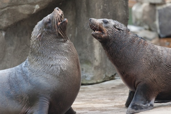 sea_lion_fight